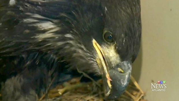 Baby bald eagle recovering after near-death experience